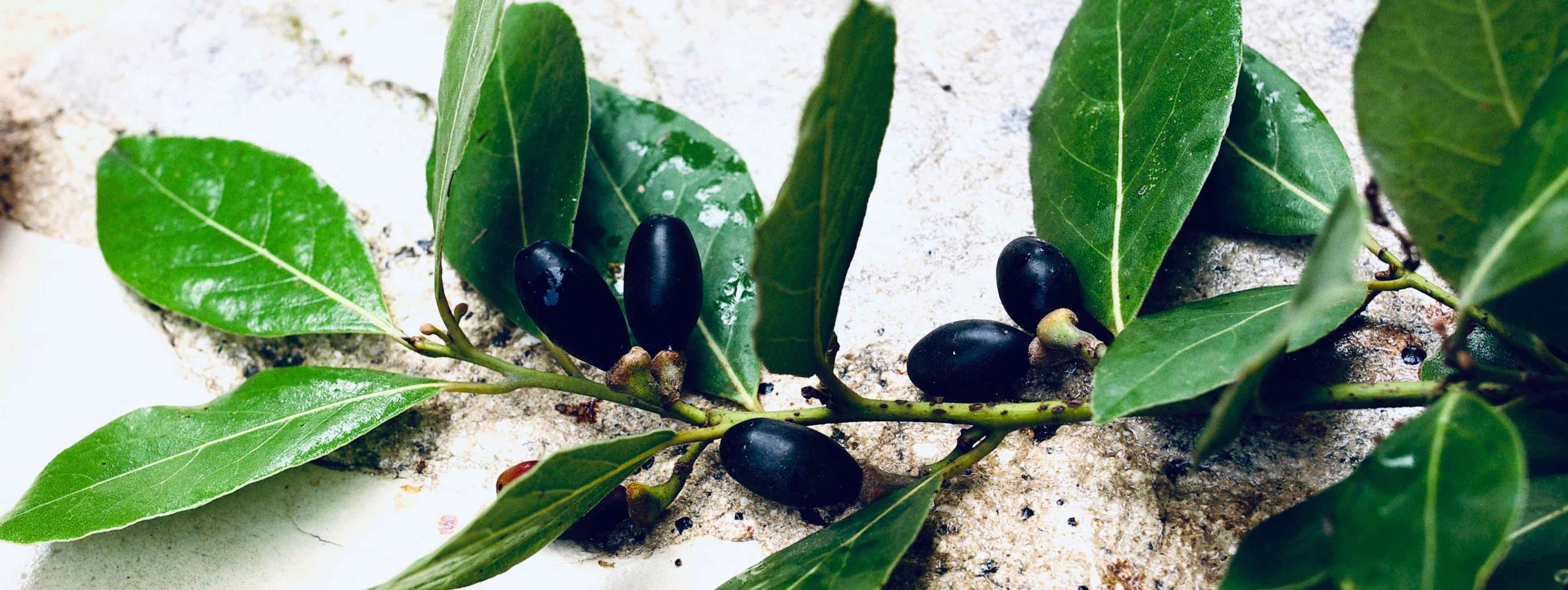 Laurus nobilis - Vavřín vznešený